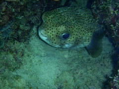 Porcupine fish again