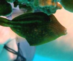 Tiny little filefish