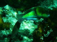 Coney and yellowhead Wrasse