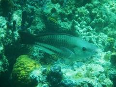 Grey parrotfish