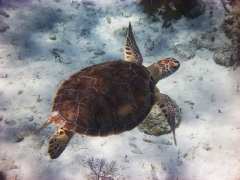 Turtle, Smith's Reef