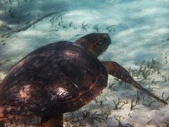Big Turtle, Smith's Reef