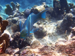 Smiling parrotfish