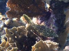 Tiny scrawled filefish