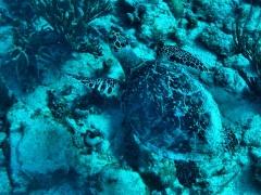 Turtle at Turtle Reef